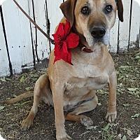 Adopt A Pet :: Peanut - Sweet Soul - Canoga Park, CA