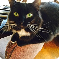 Domestic Longhair Cat for adoption in Chattanooga, Tennessee - Jill