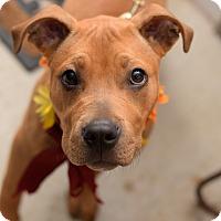 Adopt A Pet :: Rosie - Baton Rouge, LA