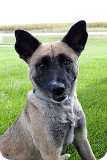 Blue Heeler/Akita Mix Dog for adoption in Fremont, Nebraska - Ash