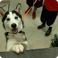 Adopt A Pet :: KODA - Murray, UT