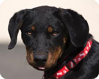 Beauceron/Rottweiler Mix Dog for adoption in Pt. Richmond, California - BART aka BEAUX