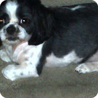 Shih Tzu Mix Dog for adoption in Cambridge, Ontario - Puddles