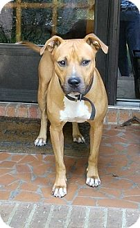 American Pit Bull Terrier Mix Dog for adoption in Waxhaw, North Carolina - Roscoe