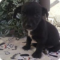 Adopt A Pet :: Pepper - San Diego, CA