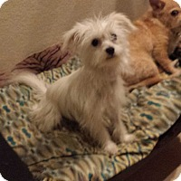 Maltese/Terrier (Unknown Type, Small) Mix Dog for adoption in San Dimas, California - Cookie