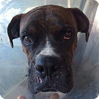 Adopt A Pet :: Draco - Austin, TX