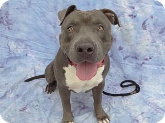Pit Bull Terrier Mix Dog for adoption in Hawthorne, California - Ned