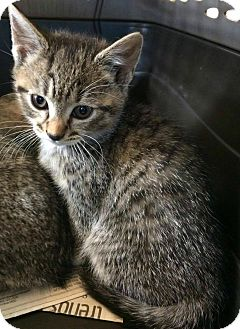 Domestic Shorthair Kitten for adoption in Jefferson, North Carolina - Columbia