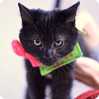 Domestic Shorthair Cat for adoption in Virginia Beach, Virginia - Pirate