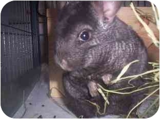 Chinchilla for adoption in Avondale, Louisiana - Willy