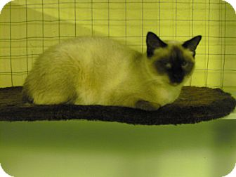 Domestic Shorthair Cat for adoption in Mission, British Columbia - Cocoa