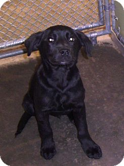 Labrador Retriever/Spaniel (Unknown Type) Mix Puppy for adoption in Richmond, Virginia - Bronx