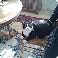 Adopt A Pet :: Mow Mow - Lucerne Valley, CA