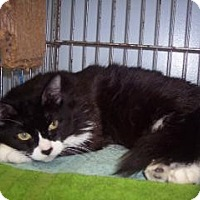 Adopt A Pet :: Fortunata - Windsor, CT