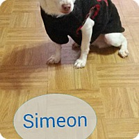 Adopt A Pet :: Simeon - Forest Hills, NY