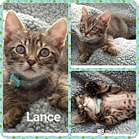 Adopt A Pet :: Lance - Arlington/Ft Worth, TX