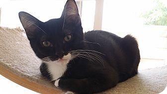 American Shorthair Kitten for adoption in Cerritos, California - Gordo