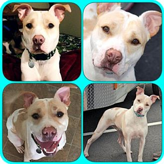 Pit Bull Terrier Mix Dog for adoption in Alpharetta, Georgia - BradyMan