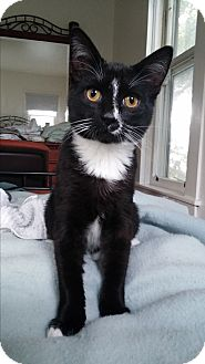 Domestic Shorthair Cat for adoption in Oakland, Oregon - Sheldon