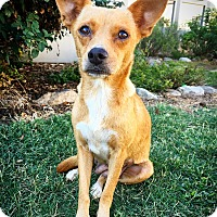 Adopt A Pet :: Hocus - Fredericksburg, TX