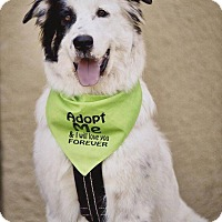 Adopt A Pet :: Orion - Allen, TX