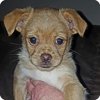Beagle/Chihuahua Mix Puppy for adoption in Tenafly, New Jersey - West