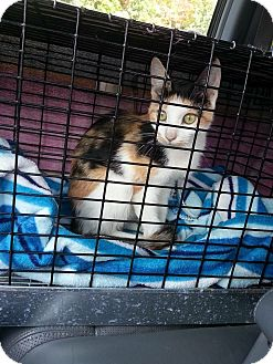 Calico Cat for adoption in Prospect, Connecticut - Cally