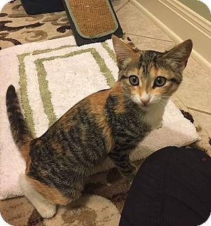 Calico Cat for adoption in Austin, Texas - Franny
