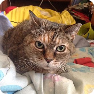 Domestic Shorthair Cat for adoption in Bloomington, Minnesota - Sweety