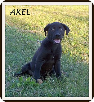 Labrador Retriever Mix Puppy for adoption in Milford, New Jersey - Axel