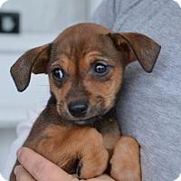 Adopt A Pet :: Audrey - Danbury, CT