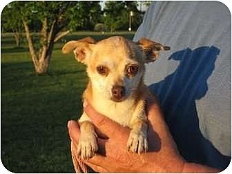 Chihuahua Dog for adoption in Salem, New Hampshire - Tia