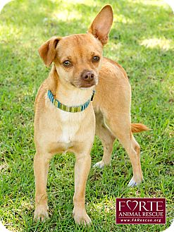 Chihuahua Dog for adoption in Marina del Rey, California - Romeo