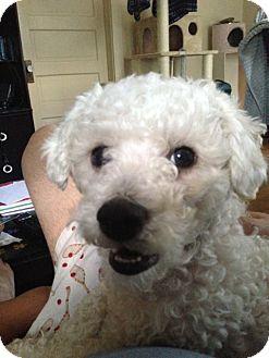 Bichon Frise/Poodle (Miniature) Mix Dog for adoption in Salt Lake City, Utah - HAYDEN