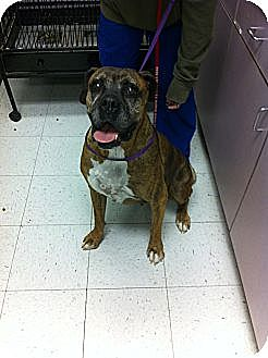 Boxer Dog for adoption in Las Vegas, Nevada - Frazier