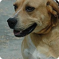Rhodesian Ridgeback Mix Dog for adoption in Crump, Tennessee - Rusty