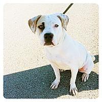 Adopt A Pet :: Opal - Louisville, KY