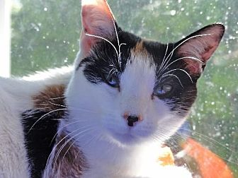 Domestic Shorthair Cat for adoption in Devon, Pennsylvania - Sally