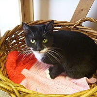 Adopt A Pet :: Patti-Cakes - MADISON, OH