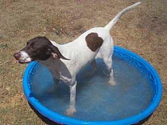 Pointer Dog for adoption in Seguin, Texas - Dillinger