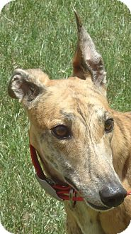 Greyhound Dog for adoption in Longwood, Florida - Hi Maddie