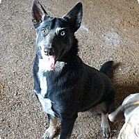 German Shepherd Dog/Husky Mix Dog for adoption in Katy, Texas - Misha