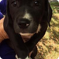 Adopt A Pet :: Owen - Schaumburg, IL