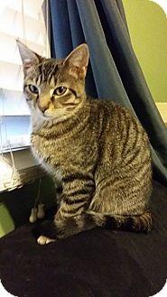 Domestic Shorthair Kitten for adoption in Louisville, Kentucky - Henrietta