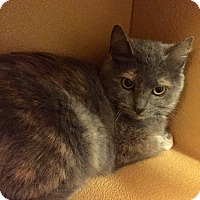 Domestic Shorthair Cat for adoption in Barrington Hills, Illinois - Heartstone
