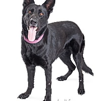 Adopt A Pet :: Laila - Tempe, AZ