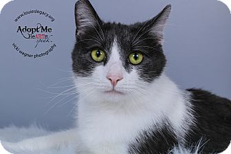 Domestic Mediumhair Cat for adoption in Cincinnati, Ohio - Brother