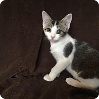 Domestic Shorthair Kitten for adoption in Columbus, Ohio - Sly