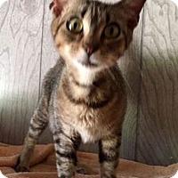 Adopt A Pet :: Munchkin - Porter, TX